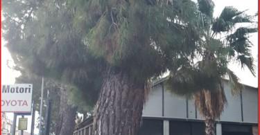 pino con ramo spezzato