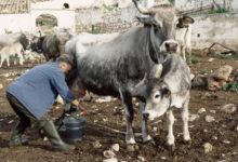 Photo of Podolica, dal Parcodel Gargano 80 mila euro per gli allevatori