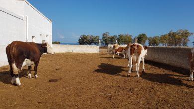 Photo of Puglia, crisi del comparto zootecnico senza risposte