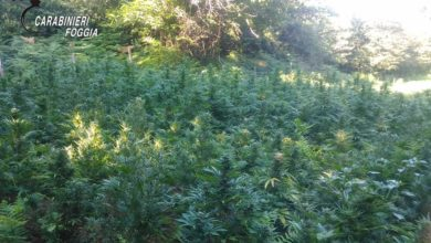 Photo of SCOPERTA DAI CARABINIERI ALTRA PIANTAGIONE DI CANNABIS IN UNA ZONA IMPERVIA DEL GARGANO