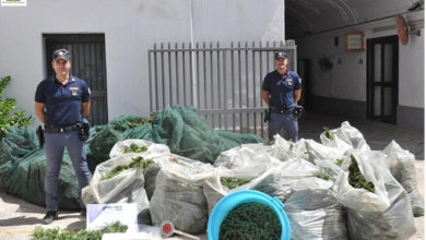 Photo of SAN SEVERO: MAXI SEQUESTRO DI MARIJUANA – 570 KG – SETTEMILA PIANTE – QUATTRO ARRESTI