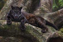 """Photo of San Severo: Confermata la presenza della pantera """"pardus"""" nelle campagne"""