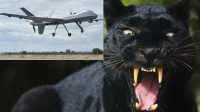 Photo of LA  PANTERA  AVVISTATA  SUL GARGANO – DUE PREDATOR IN VOLO DALL'AMENDOLA